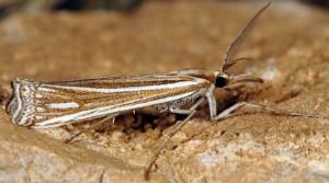 Ancylolomia palpella 06 5