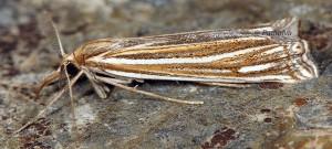 Ancylolomia palpella 06 6