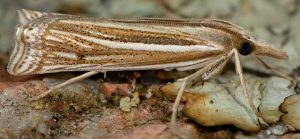 Ancylolomia tentaculella