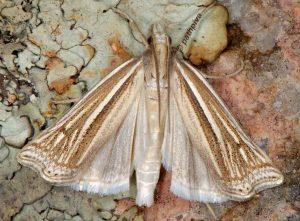 ancylolomia-tentaculella-13-2
