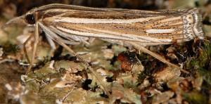 Ancylolomia tentaculella 34 1