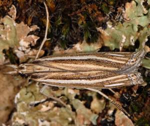 Ancylolomia tentaculella 34 2
