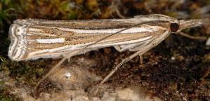 Ancylolomia tentaculella 34 4