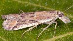 Ancylosis-sareptalla-30-5