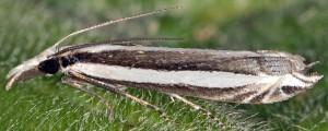 Angustalius malacellus 2B 2