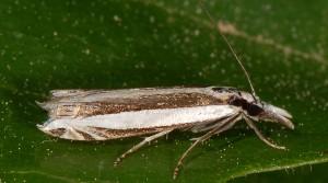 Angustalius malacellus 2B 4