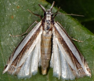 Angustalius malacellus 2B 7