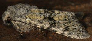 Antitype suda