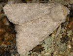 Apamea platinea (I)