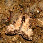 Apamea scolopacina (I)