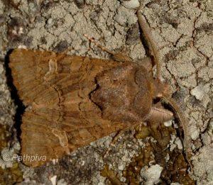 Aporophyla chioleuca 1