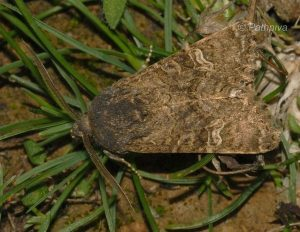Aporophyla chioleuca 4