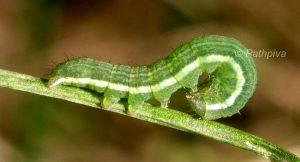 Aporophyla chioleuca L3