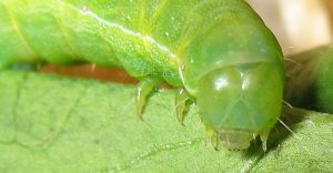 Aporophyla chioleuca L5 4