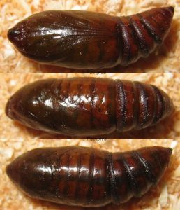 Aporophyla chioleuca p