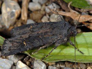 Aporophyla nigra 2