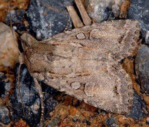 Apterogenum ypsillon 06