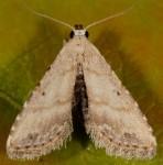 Araeopteron ecphaea (I)