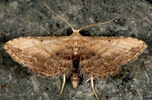 Araeopteron ecphaea 2
