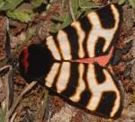 Arctia festiva (I)