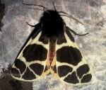 Arctia flavia (i, L5)