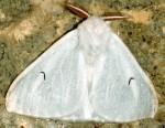 Arctornis l-nigrum (I)