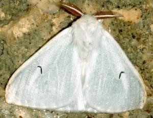 Arctornis l-nigrum