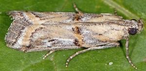 Asalebria florella 66 1
