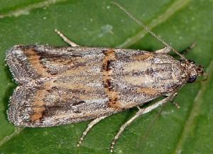 Asalebria florella 66 2