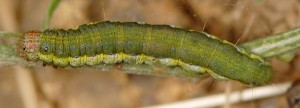 Asalebria florella L5 2