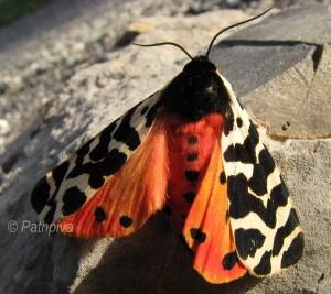 Atlantarctia tigrina 1