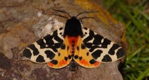 Atlantarctia tigrina 2