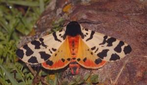 Atlantarctia tigrina 3
