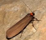 Atolmis rubricollis (I)