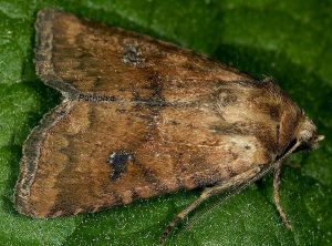 Atypha pulmonaris