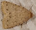 Autophila cataphanes (I, L5, P)