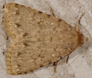 Autophila cataphanes 1