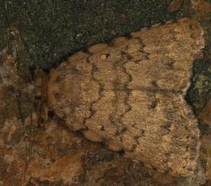 Autophila cataphanes