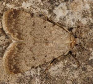 Autophila dilucida