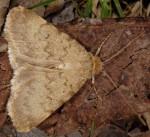 Autophila limbata (I)