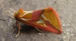 Axia margarita (I)