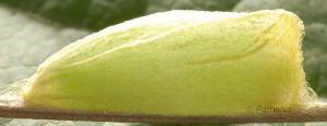 Bena bicolorana c 3