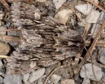 Brachionycha nubeculosa (I)