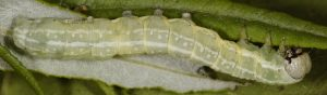 Brachylomia viminalis