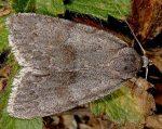 Bryonycta pineti (I)
