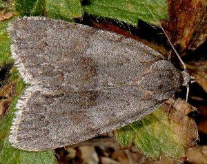 Bryonycta pineti 1