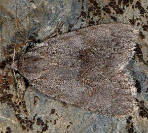 Bryonycta pineti 2