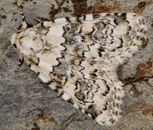 Bryophila domestica 1
