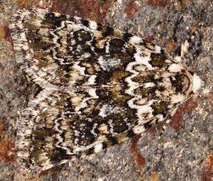 Bryophila domestica 2