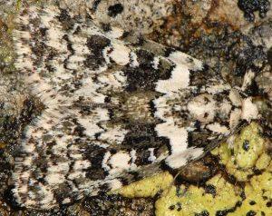 Bryophila domestica 3